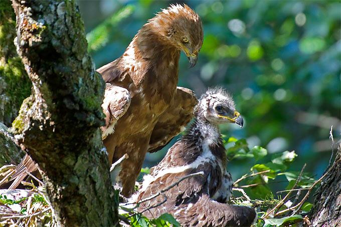 Schreiadler mit Jungvogel – Foto: NABU/Thomas Krumenacker