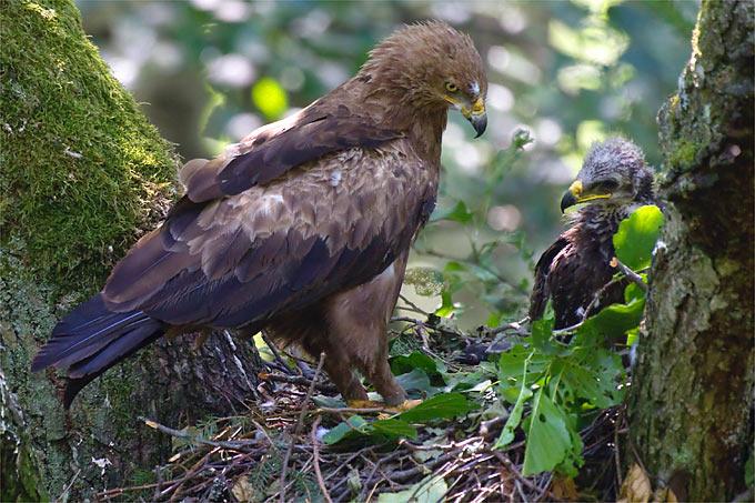 Schreiadlerweibchen mit Jungvogel - Foto: NABU/Thomas Krumenacker