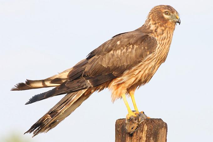 Wiesenweihe (Weibchen) - Foto: René Fonger