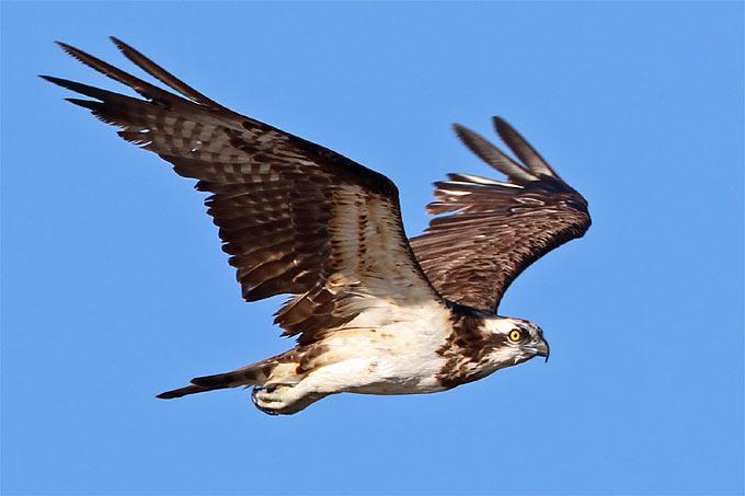 Fischadler – Foto: Frank Derer