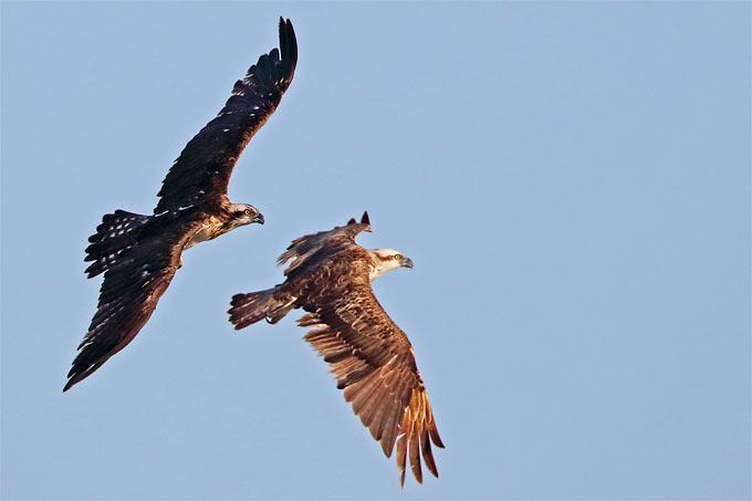Fischadler - Foto: Frank Derer