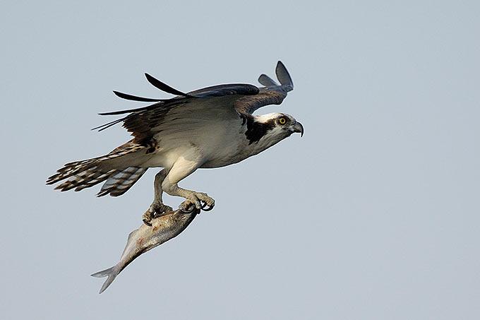 Fischadler mit Beute - Foto: Tom Dove