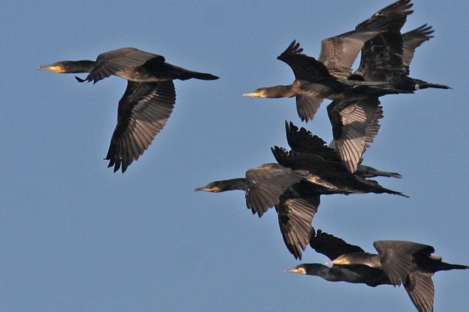 Fliegende Kormorane - Foto: Lothar Sielmann