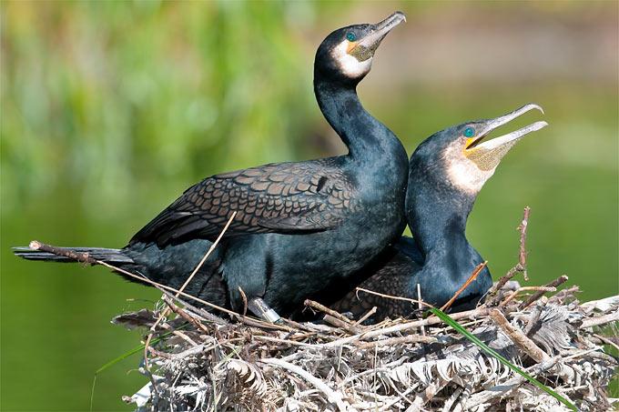 Kormorane auf Nest - Foto: Christoph Bosch