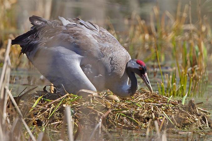 Kranich am Nest - Foto: NABU/Thomas Krumenacker