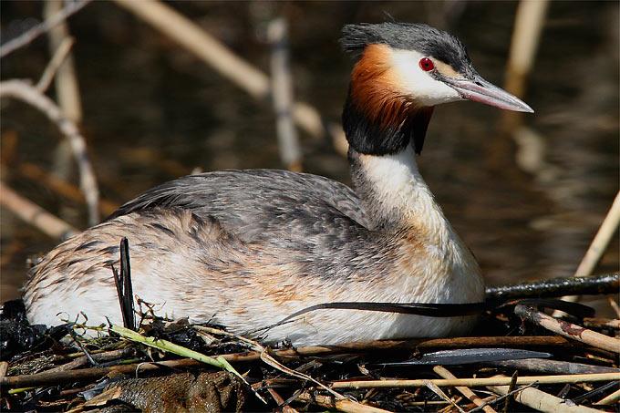 Haubentaucher auf Nest - Foto: Frank Derer
