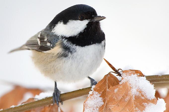 Tannenmeise im Winter - Foto: Frank Derer