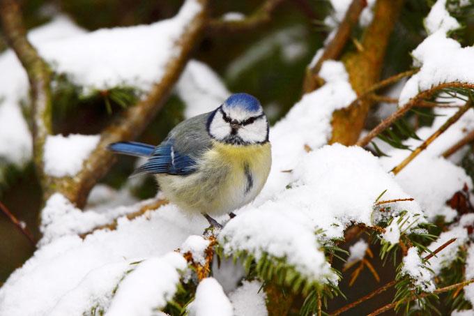 Blaumeise im Schnee - Foto: NABU/Marcus Bosch