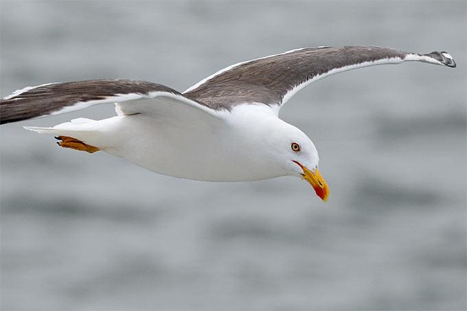 Fliegende Heringsmöwe - Foto: Frank Derer