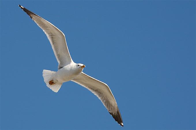 Fliegende Mittelmeermöwe - Foto: Frank Derer