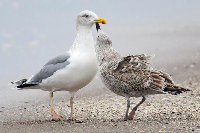 Silbermöwe mit bettelndem Jungvogel - Foto: Andre Fischer/www.naturgucker.de