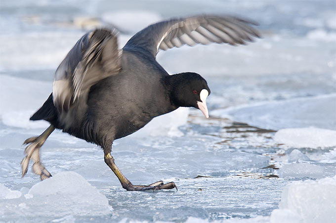 Blesshuhn auf Eis - Foto: Frank Derer