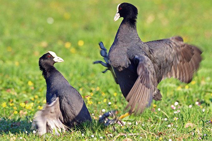 Streitende Blässhühner - Foto: Frank Derer