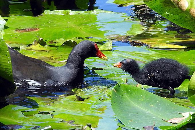 Teichhuhn mit Küken - Foto: Wolfgang Ott/www.naturgucker.de