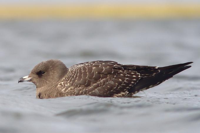 Falkenraubmöwe auf Trischen - Foto: Benjamin Gnep