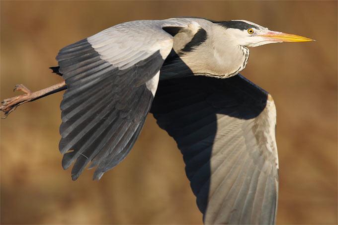 Graureiher im Flug- Foto: Frank Derer