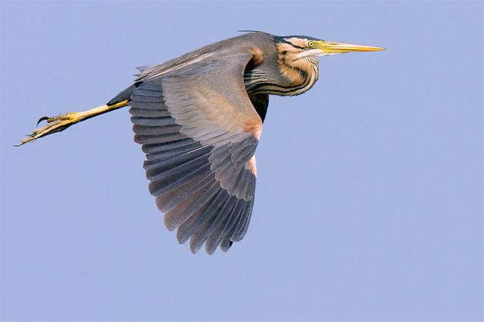 Fliegender Purpurreiher - Foto: Frank Derer