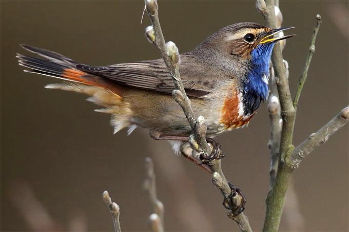 Blaukehlchen – Foto: Frank Derer