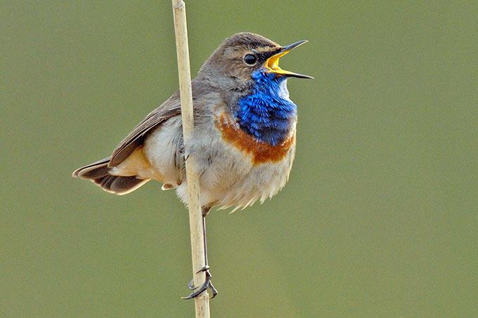 Blaukehlchen – Foto: NABU/Tom Dove