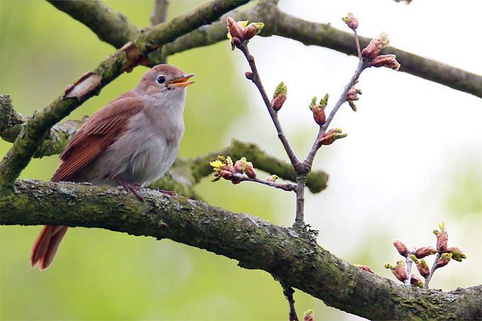 Nachtigall singend - Foto: Iris Barthel