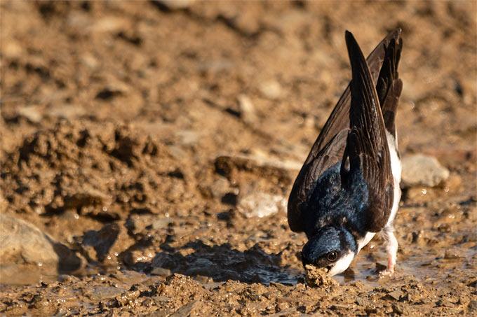 Mehlschwalbe - Foto: Martin Schnell/www.naturgucker.de