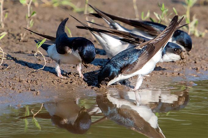 Mehlschwalben sammeln Lehm für Nestbau- Foto: Axel Aßmann/www.naturgucker.de