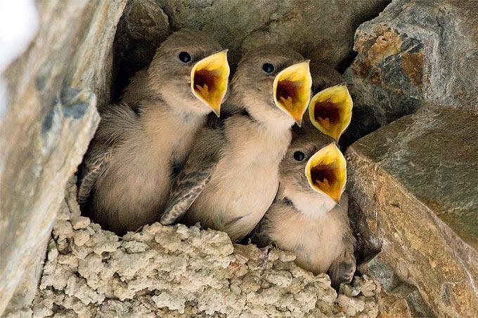 Felsenschwalben-Nachwuchs – Foto: Frank Derer