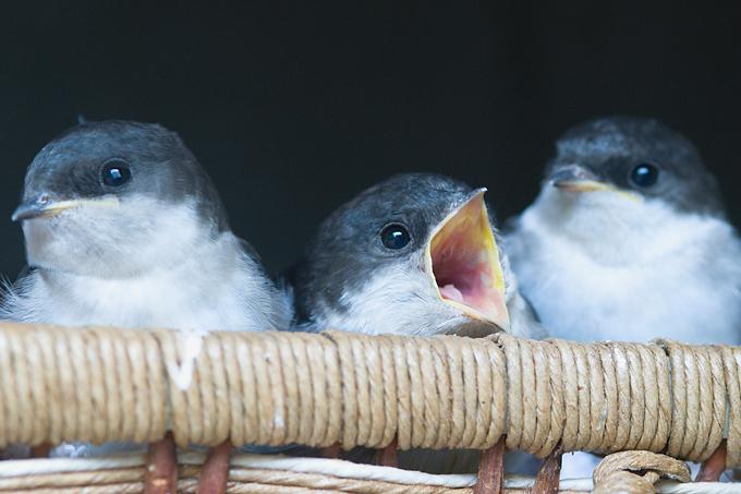 Junge Mehlschwalben - Foto: Erhard Nerger