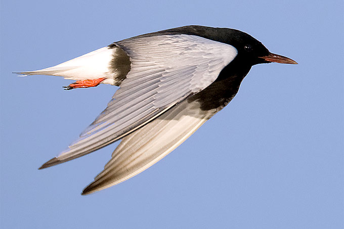 Weißflügelseeschwalbe - Foto: Frank Derer