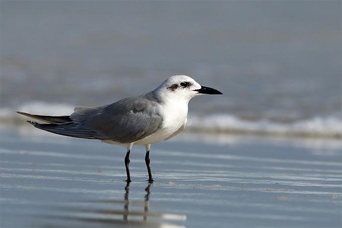 Lachseeschwalbe - Foto: Frank Derer