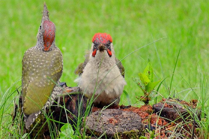 Grünspechtmännchen und Jungvogel - Foto: NABU/Gabi Kremer