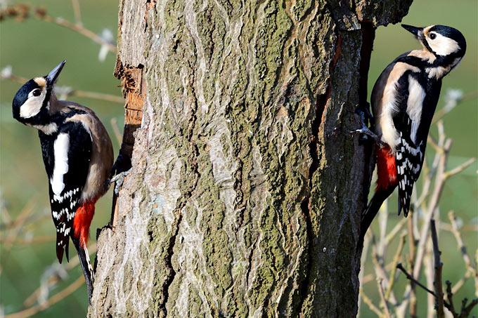 Buntspechte - Foto: Jutta und Peter Trentz/www.naturgucker.de