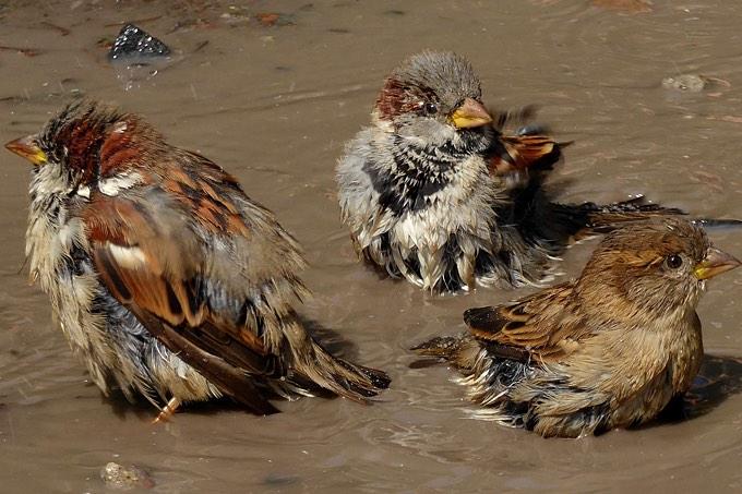 Haussperlinge nehmen ein Bad - Foto: Carsten Pusch