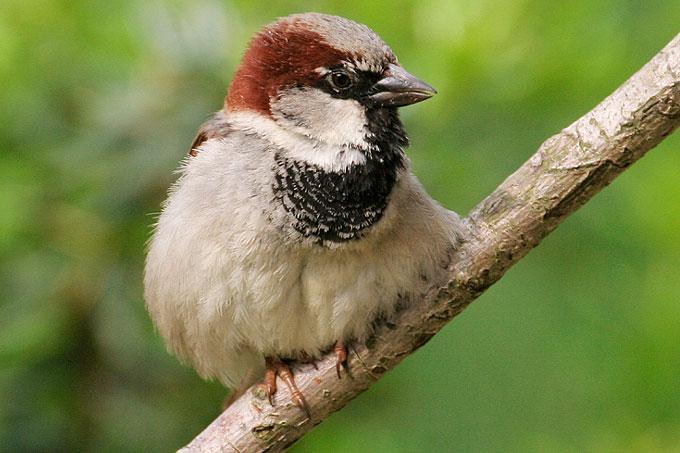 Häufigster Gartenvogel Deutschlands: Der Haussperling - Foto: Ralf Hausmann