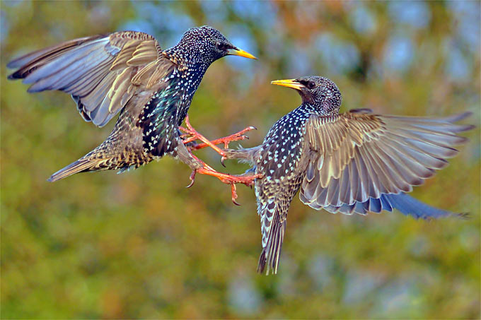 Kämpfende Stare - Foto: Lutz Klapp/www.naturgucker.de