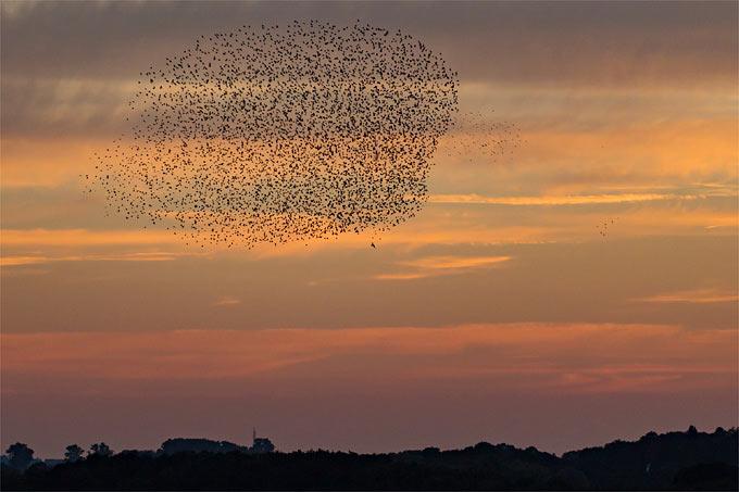 Im Herbst sind die imposanten Schwarmwolken aus vielen tausend Staren am Himmel zu sehen. - Foto: Thomas Schwarzbach/www.naturgucker.de