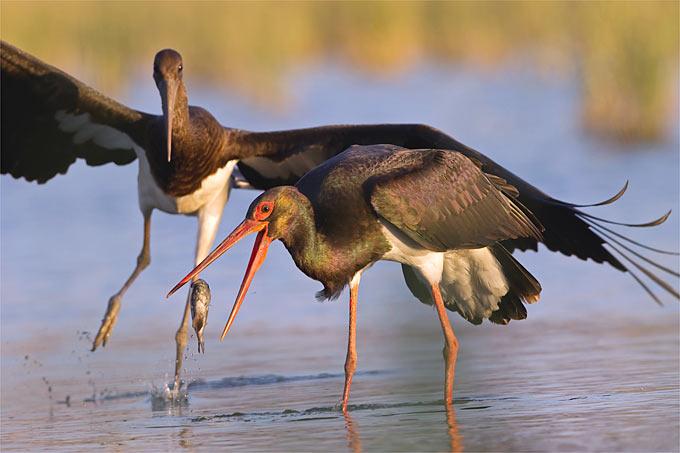 Schwarzstorch beim Fischfang - Foto: NABU/Thomas Krumenacker