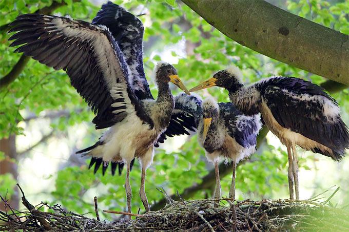 Junge Schwarzstörche am Nest - Foto: NABU/Thomas Krumenacker
