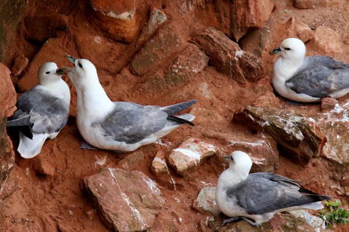 Eissturmvögel auf Helgoland - Foto: Jürgen Podgorski/www.naturgucker.de