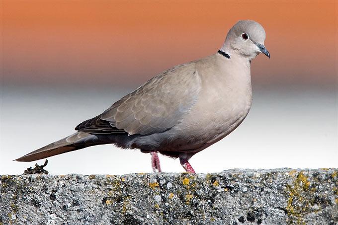 Vgel Bestimmen Tauben Im Vergleich NABU