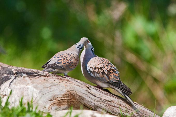 Turteltauben - Foto: Birdlife Malta