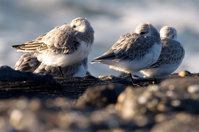 Sanderlinge – Foto: Frank Derer