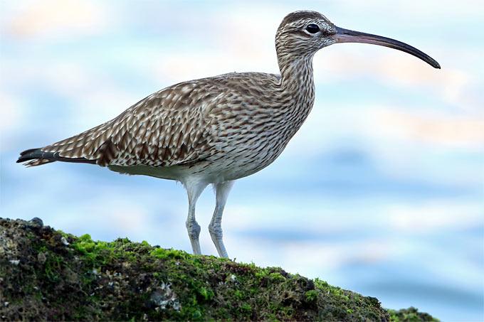 Regenbrachvogel – Foto: Frank Derer