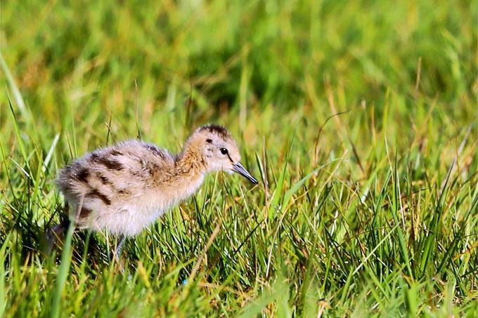 Junge Uferschnepfe - Foto: Jürgen Podgorski/www.naturgucker.de
