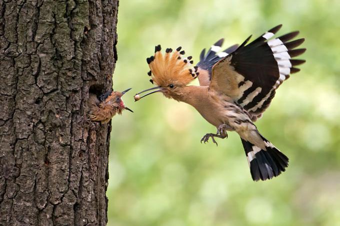 Wiedehopf füttert Jungvogel mit Eidechseneiern - Foto: Thomas Hinsche
