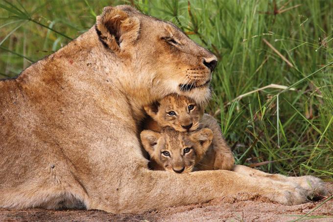 Löwenfamilie - Foto: shutterstock.com/Dave Pusey