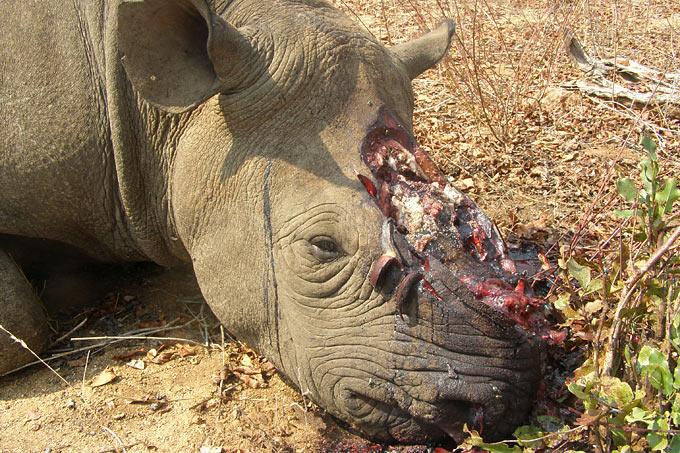 Keine Freigabe des Nashorn-Handels - NABU