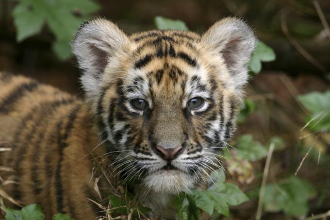 artensteckbrief zum tiger nabu international