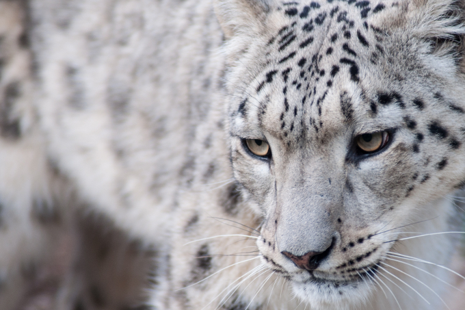 Schneeleoparden Vom Aussterben Bedroht Nabu