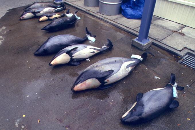 Hectordelfine die als beifang im netz gelandet sind foto steve
